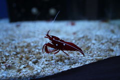 Fire shrimp in an aquarium. Fire shrimp inside an aquarium stalking its prey royalty free stock photo