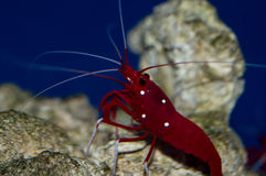 Fire Shrimp. The Blood Red Fire Shrimp, also known as Blood Shrimp, Fire Shrimp, or Scarlet Cleaner Shrimp, is one of the most popular shrimp in the aquarium stock images