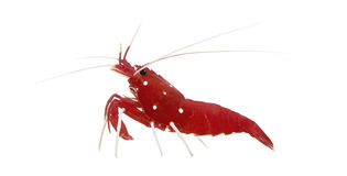 Fire Shrimp - Lysmata debelius Royalty Free Stock Photo
