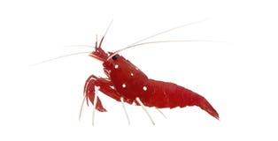 Fire Shrimp - Lysmata Debelius Royalty Free Stock Photo
