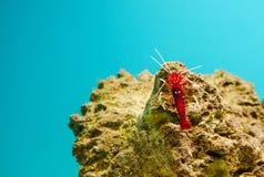 Fire shrimp- Lysmata debelius. Lysmata debelius, cleaner shrimp from Indo-Pacific stock images