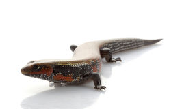 Fire Skink Stock Photo