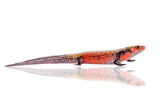 Fire Skink isolated on white Royalty Free Stock Image