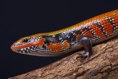 Fire skink / Lepidothryris fernandi Stock Images