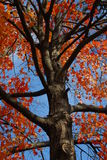 Fire in the Sky 1. A tree with beautiful reddish/orange leaves against a blue sky stock photos