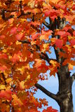 Fire in the Sky 2. A tree with beautiful reddish/orange leaves against a blue sky royalty free stock photos