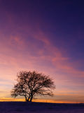 Fire in the sky. Solitary tree against vivid winter sunset background Stock Images