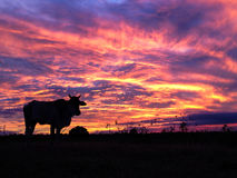 Fire in Sky. Sunset with Cow Silhouette Stock Images