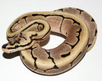 Fire Spider Royal Python hatchling Royalty Free Stock Photo