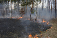 Fire in spring pine forest. Stock Photo