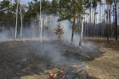 Fire in spring pine forest. Royalty Free Stock Photo