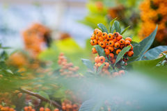 Fire thorn. Beautiful orange plant pyracantha coccinea Royalty Free Stock Photography