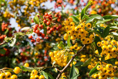 Fire thorn plant (pyracantha coccinea). Yellow berries royalty free stock image