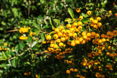 Fire thorn plant (pyracantha coccinea). Yellow berries stock photography
