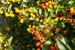 Fire thorn plant (pyracantha coccinea). Yellow berries royalty free stock photos