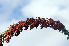 Fire Thorn Pyracantha coccinea. The fire thorn Pyracantha coccinea yields the park ornament royalty free stock image
