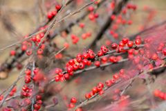 Fire Thorn Pyracantha coccinea. The fire thorn Pyracantha coccinea yields the park ornament royalty free stock photo
