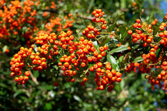 Fire Thorn (Pyracantha coccinea). The fire thorn (Pyracantha coccinea) yields the park ornament stock image