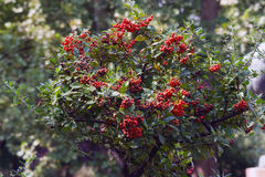 Fire Thorn (Pyracantha coccinea). The fire thorn (Pyracantha coccinea) yields the park ornament royalty free stock photography