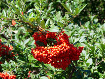 Fire Thorn (Pyracantha coccinea). The fire thorn (Pyracantha coccinea) yields the park ornament stock photography