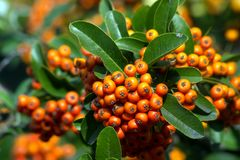 Fire Thorn Pyracantha coccinea. The fire thorn Pyracantha coccinea yields the park ornament stock photography