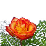 Fire-Tipped Yellow Rose Stock Image