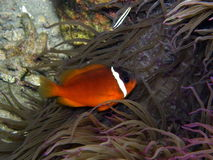 Fire Tomato Clown Fish in purple anemone Royalty Free Stock Photography