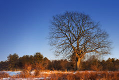 Fire Tree. Cold Maine winter day as the sun was setting on a barren tree Stock Images