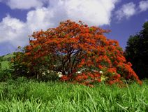 Fire tree  - Flamboyant Royalty Free Stock Photo