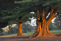 Fire trees. Early morning light glowing on trunks of two trees Royalty Free Stock Photography