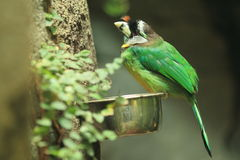 Fire-tufted barbet Royalty Free Stock Image