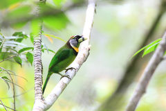 Fire-tufted Barbet Stock Images