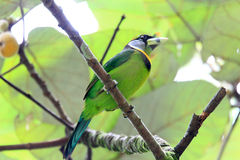 Fire-tufted Barbet Royalty Free Stock Photo