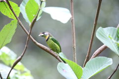 Fire-tufted barbet Stock Image