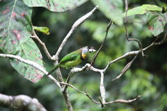 Fire-tufted barbet Royalty Free Stock Photography