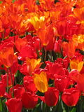 Fire Tulips Royalty Free Stock Photos