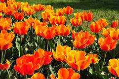 Fire tulips Stock Image