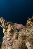Fire urchin (asthenosoma marisrubri) in the Red Sea. Stock Image