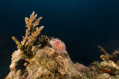 Fire urchin (asthenosoma marisrubri) in the Red Sea. Stock Photography