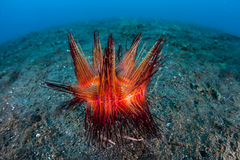 Fire Urchin on Seafloor in Indonesia Royalty Free Stock Images
