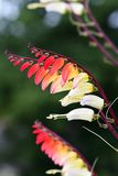 Fire vine ipomoea lobata royalty free stock images