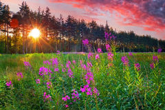 Fire weed at sunny summer evening Royalty Free Stock Photo