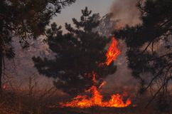 Fire. wildfire, burning pine forest . royalty free stock photography