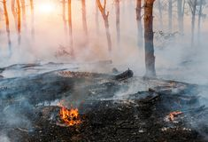 Fire. wildfire, burning pine forest in the smoke and flames royalty free stock image