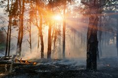 Fire. wildfire, burning pine forest in the smoke and flames.  royalty free stock photo