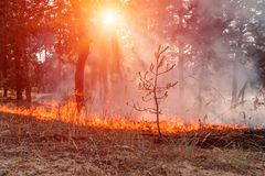 Fire. wildfire at sunset, burning pine forest in the smoke and flames. Fire. wildfire at sunset, burning pine forest in the smoke and flames royalty free stock photography