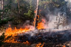 Fire. wildfire at sunset, burning pine forest in the smoke and flames. Fire. wildfire at sunset, burning pine forest in the smoke and flames royalty free stock images