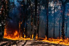 Forest fire. Burned trees after forest fires and lots of smoke. stock images