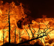 Fire in wood. Black trees on  fiery background Stock Photography