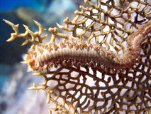 Fire Worm. A Bearded Fire Worm, or Bristle Worm, crawls over a fan coral.  These worms have bristles all around the edges which can give a burning feeling if Stock Image